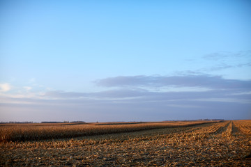 Vast flat open maize fields in evening light