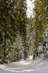 footpath in snowy spruce forest