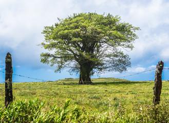 Tree Costa Rica
