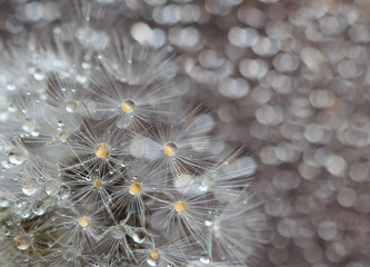 many dandelion seeds with water drops after rain,macro