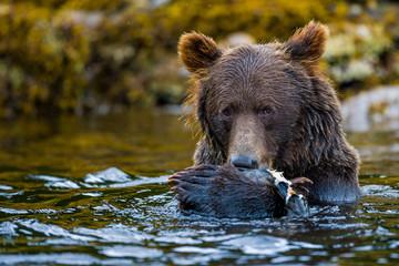Orso bruno dell'Alaska e del Canada, orso grizzly