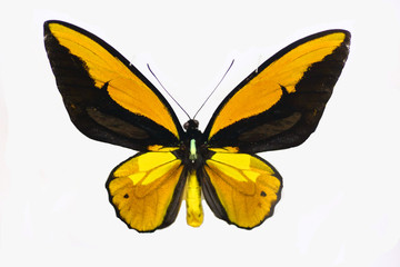 Wallace's golden birdwing (Ornithoptera croesus) male isolated