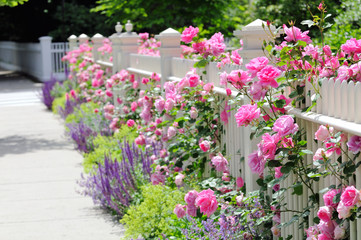 White Fence, Pink Roses, Colorful Garden Border