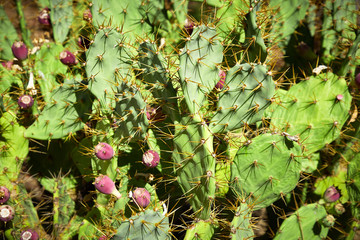 Wild plant of cactus