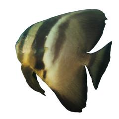 Longfin Spadefish isolated on white background. Batfish fish cutout