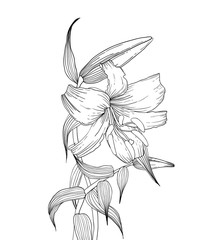 Lilies flowers, ink hand drawn style