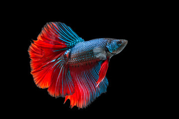siamese fighting fish isolated on black background, Betta fish