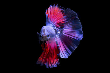 Fancy betta fish,Violet siamese fighting fish on black background isolated