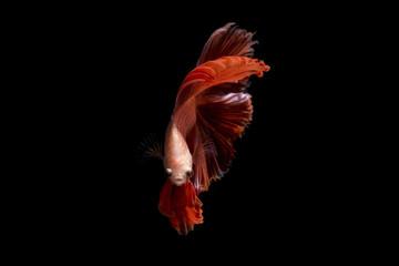 Foto op Canvas Vissen Fancy betta fish, Orange siamese fighting fish on black background isolated