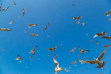 Many seagulls fly in sky