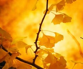 晩秋の北大イチョウ並木
