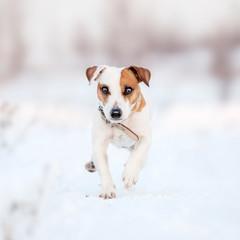 Dog running at winter