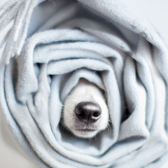 Dog wrapped in a scarf