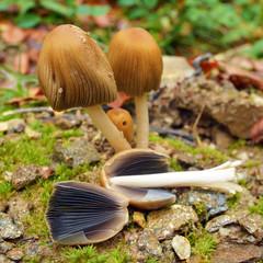 Coprinellus bisporus mushroom