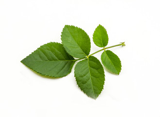 Green leaf of rose on white background