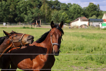 Whinnying brown horses on green background