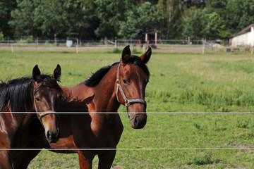 Brown horses on green background