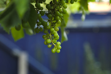 Grapes on the farm