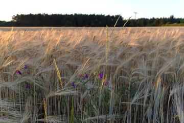 Barley field at evening