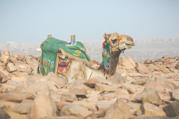 Camel lay with traditional Bedouin saddle in Egypt