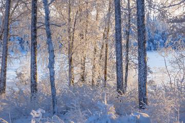 Sunlight on tree trunks in a winter forest