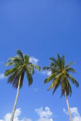 Twin coconut tree over blue sky background. Copyspace area.