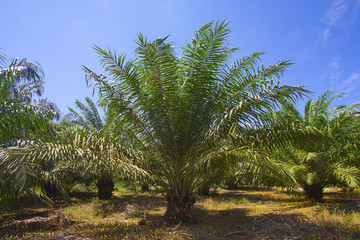 View of Palm Plantation with deep blue sky at background.