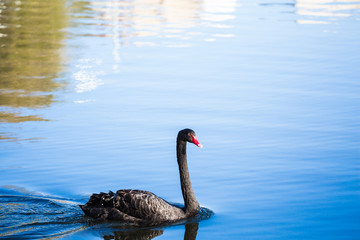 Black Swan on the lake or in the pond. Blue sky reflected in the water.