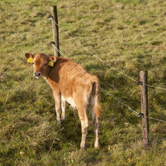 brown calf in green meadow next to barbed wire looks back