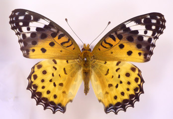 Indian Fritillary (Argyreus hyperbius) female isolated