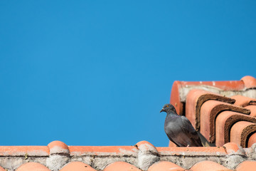 gray pigeon sitting on orange clay house roof on blue sky background with copy space