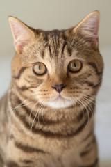 Portrait of a British Shorthair cat
