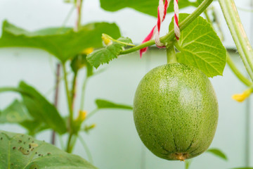 Melon and leaf on tree