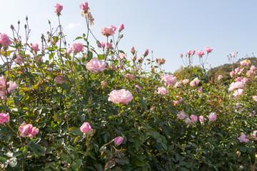rose / Rose of autumn bloom