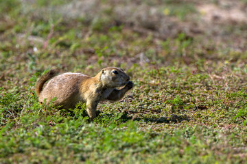 Black-tailed Prairie Dog on the prairie at Wichita Mountains National Wildlife Refuge in Oklahoma