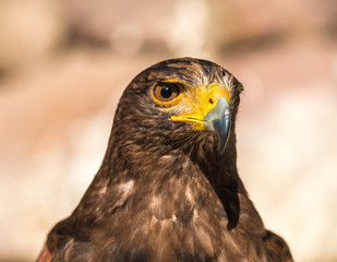 Tawny eagle (Aquila rapax), a large bird of prey that in Sub-Saharan Africa, southwestern Asia and India