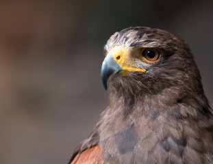 Tawny eagle (Aquila rapax), a large bird of prey that in Sub-Saharan Africa, southwestern Asia and India
