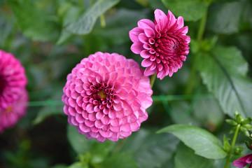 Dahlia pompon rose en été au jardin