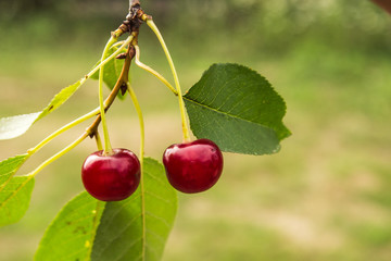 two red cherry on a tree in the garden