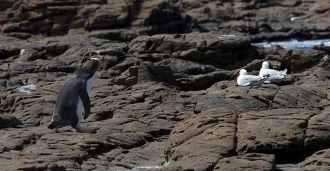 Pinguin Curio Bay