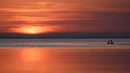Poster Crimson Bird (Podiceps cristatus) swims at sunset