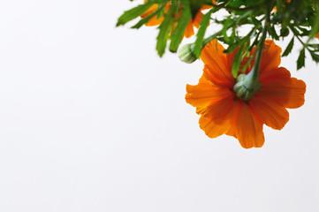 cempasuchil flower low angle shot