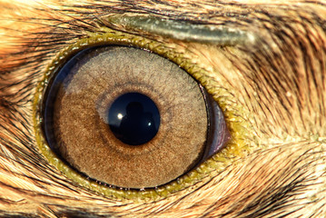 eagle eye close-up, macro photo, eye of the Buzzard