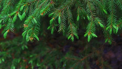 focus of fir-tree branches with young green shoots with drops of dew on the needles in forest