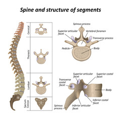 Medical diagram of a human spine with the name and description of all sections and segments of the vertebrae. Vector illustration.