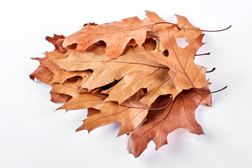 Dry maple leaves on white background. Stack of dried brown maple leaves over white background.