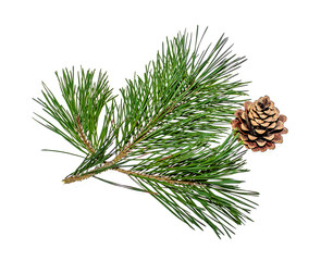 Pine branch with cones on white background