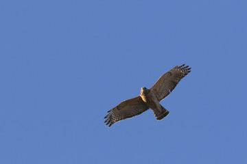 Red-shouldered Hawk in flight