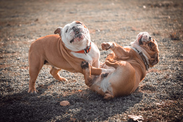Playful couple of English bulldog on the field,selective focus and blurred motion