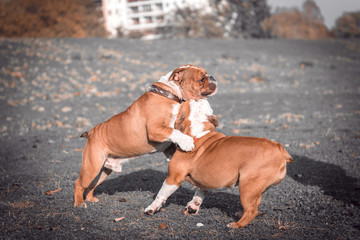 English bulldogs playing outdoor,selective focus and blurred motion